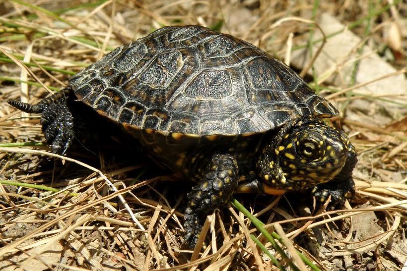 Jeste li vidjeli crvenouhu kornjaču?